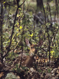 Whitetail Fawn Hides from Predators, Shenandoah National Park, Virginia Photographic Print by Sam Abell