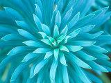 Euphorbia, Roche Harbor, Washington, USA Valokuvavedos tekijänä Rob Tilley