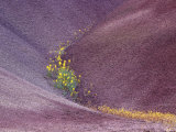 Chenactis Flowers in Painted Hills of John Day Fossil Beds, Oregon, USA Photographic Print by Julie Eggers