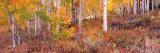 Aspen Grove Autumn Color, Logan Canyon, Utah, USA Premium Photographic Print by Terry Eggers