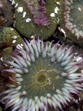 Giant Sea Anenomes at Second Beach, Olympic National Park, Washington, USA Lámina fotográfica