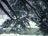 Snow and Eastern Hemlock, New Hampshire, USA Photographic Print by Jerry & Marcy Monkman