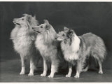 Three Dogs Standing Together Fotografie-Druck