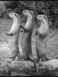 Trio of Otters Reproduction photographique