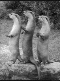 Trio of Otters Fotografie-Druck