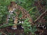 Jaguar, Belize Impressão fotográfica por Lynn M. Stone