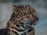 Close-up of Leopard Stampa fotografica di Elizabeth DeLaney