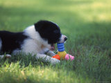 Border Collie Puppy Playing with Toy Photographic Print by Peggy Koyle