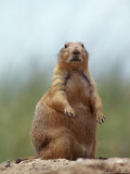 Prairie Dog Lámina fotográfica por Lauree Feldman