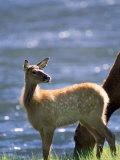 Elk, Cervus Elaphus, Yellowstone National Park, WY Photographic Print by Kyle Krause