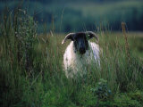 Country Side Ram, Ireland Photographic Print by Kathleen Kliskey-Geraghty
