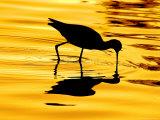 Avocet Silhouette at Sunrise Reproduction photographique par Russell Burden