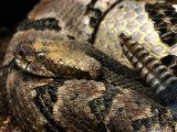 Timber Rattle Snake, Crotalus Horidus Fotografie-Druck von Larry Jernigan