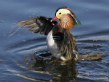 Mandarin Duck Wing Flapping Photographic Print by Russell Burden