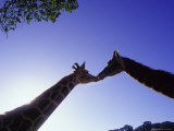 A Mother and Baby Giraffe Photographic Print by Tim Lynch