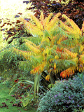 "Rhus Typhina ""Dissecta,"" Growing in Border Turning Orange, October Fotografie-Druck von Lynn Keddie"