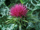 Silybum Marianum Photographic Print by Chris Burrows