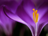 "Crocus Crysanthus ""Eye Catcher"" (Extreme Close-up) March Photographic Print by James Guilliam"