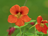 "Tropaeolum Majus ""Jewel Series,"" Orange Flowers, October Fotografie-Druck von David Dixon"