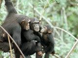 Chimpanzees, Chimp Family, W. Africa Lámina fotográfica por Mike Birkhead