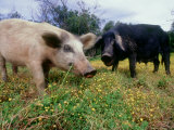 Pigs, Feeding, La Corse, France Reproduction photographique par Olaf Broders