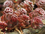 "Sedum Spurium ""Dragons Blood"" (Stonecrop), October Fotografie-Druck von Lynn Keddie"