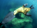 Diver Playing with Californian Sea Lion, Mexico Stampa fotografica di Tobias Bernhard