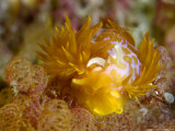 Nudibranch, Poor Knights Marine Reserve, New Zealand Photographic Print by Tobias Bernhard