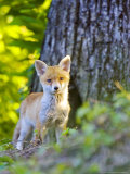 Red Fox, Fox Cub Standing Outside Den, Vaud, Switzerland Photographic Print by David Courtenay