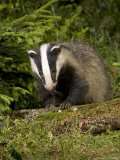 Badger, Climbing on Tree Stump, Vaud, Switzerland Photographic Print by David Courtenay