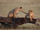 African Lion, Cubs Playing on Log, Kenya, Africa Stampa fotografica di Daniel J. Cox
