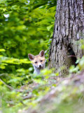 Red Fox, Fox Cub Peering Around Tree, Vaud, Switzerland Photographic Print by David Courtenay