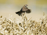 Sparrow, Flying Over Wheat Field, Switzerland Photographic Print by David Courtenay