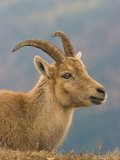 Ibex, Portrait of Female, Switzerland Photographic Print by David Courtenay