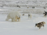Polar Bear, and Local Sled Dogs at Cape Churchill, Manitoba, Canada Lámina fotográfica por Daniel J. Cox