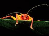 Assassin Bug, Africa Fotografisk tryk af David M. Dennis