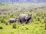 Indian Rhinoceros, Mother and Calf, Assam, India Photographic Print by David Courtenay