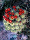 Flowering Cactus Fotografisk tryk af David M. Dennis