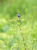 Grey-Backed Shrike, Perched on Bush, Assam, India Reproduction photographique par David Courtenay