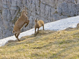 Ibex, Young Male and Female Fighting, Switzerland Photographic Print by David Courtenay
