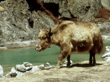 Domestic Yak, Khumbu Everest Region, Nepal Lámina fotográfica por Paul Franklin
