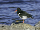 Oystercatcher, Adult Standing on Rock, Scotland Reproduction photographique par Mark Hamblin