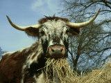 Longhorn Cattle, UK Fotografie-Druck von Mark Hamblin