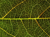 Close-up Detail of Veins, Leaf of Virginian Creeper, October, Scotland Reproduction photographique par Mark Hamblin