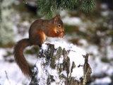 Red Squirrel, Sat on Stump in Snow Feeding, UK Fotografie-Druck von Mark Hamblin