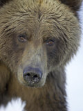 Grizzly Bear, Portrait of Adult Female, Alaska Photographic Print by Mark Hamblin