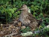 Curlew Reproduction photographique par Mark Hamblin