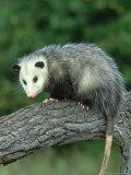 Opossum on Branch, USA Lámina fotográfica por Mark Hamblin