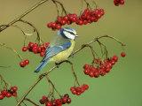 Blue Tit, Perched on Berries Reproduction photographique par Mark Hamblin
