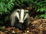 Badger, Close-up Fotoprint van Mark Hamblin
